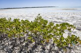 Mangroven angewachsen