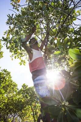 Cutting mangroves