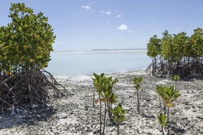 Mongrovenpflanzen