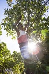 Mangroven Setzlinge